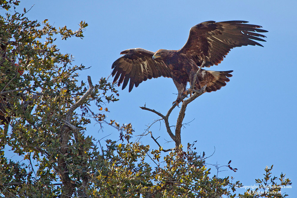 Golden Eagle, Greg Lawson Galleries, Sedona