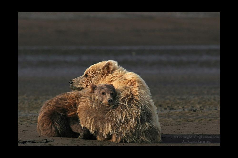 Bears snuggle, Greg Lawson Wildlife Photography, Greg Lawson Galleries