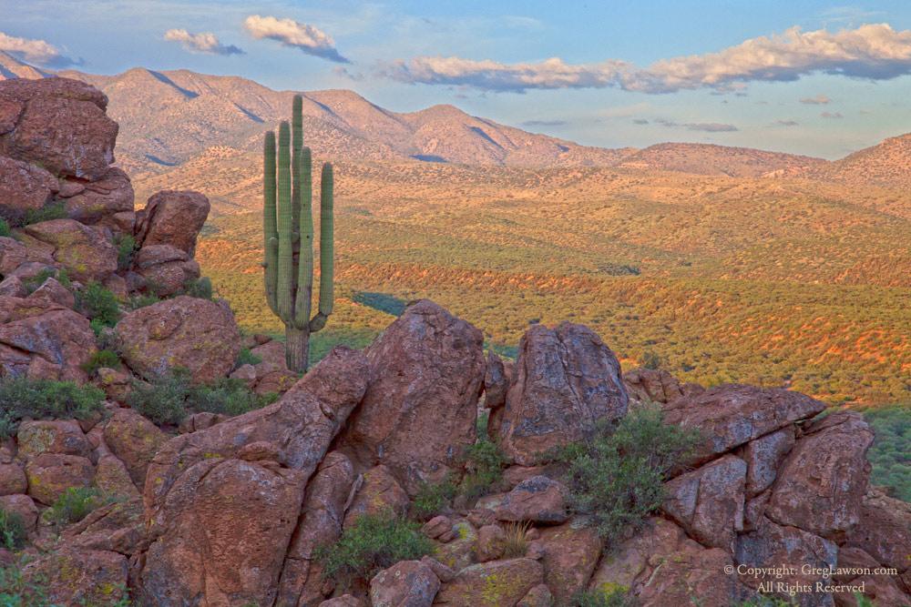 Saguaro Sentinel copyright Greg Lawson Galleries