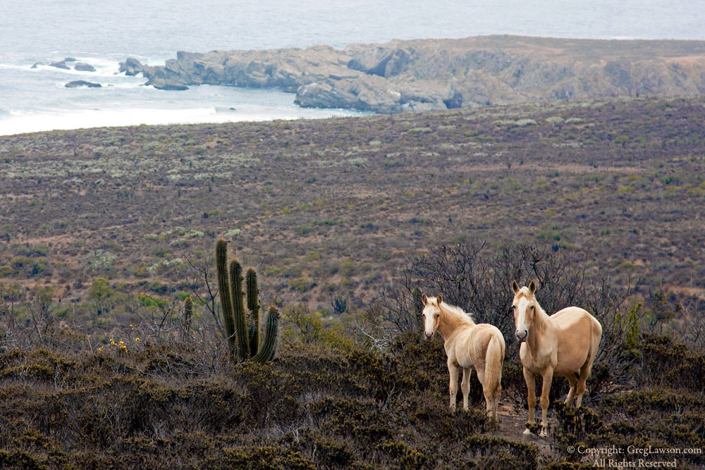 Chilean horses, Greg Lawson Photography Galleries