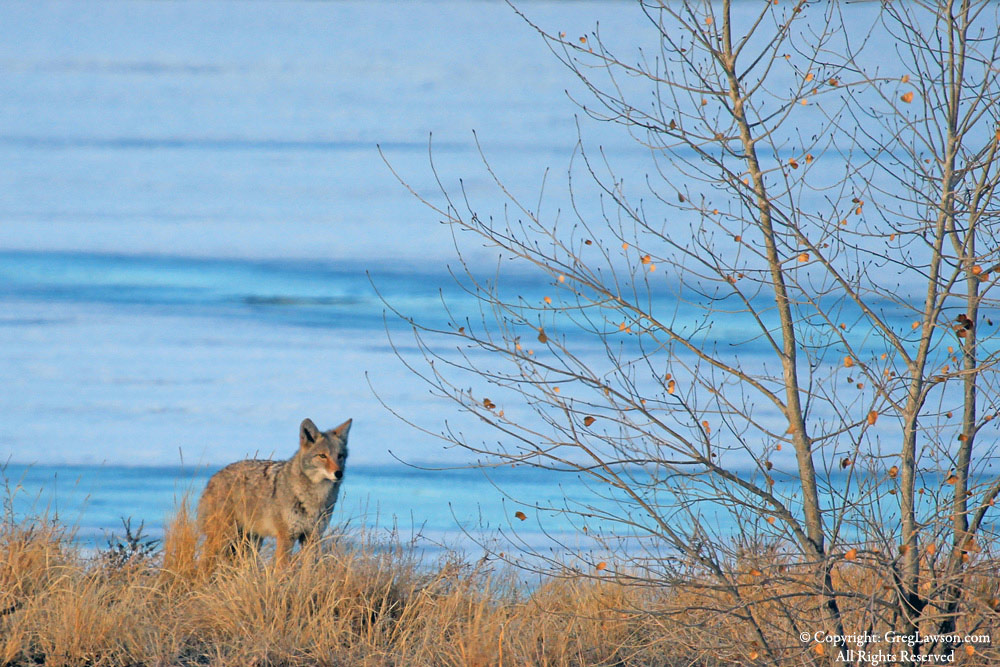 Coyote comes off the ice in the Great Plains, USA, Greg Lawson Galleries