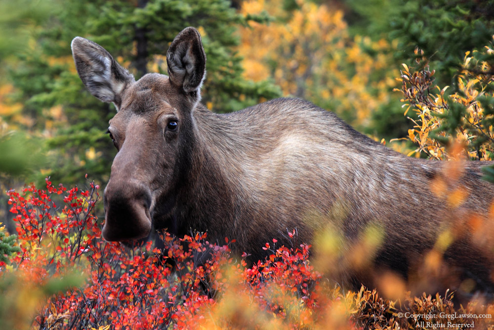 Browsing moose in Denali's garden, Alaska, Greg Lawson photography