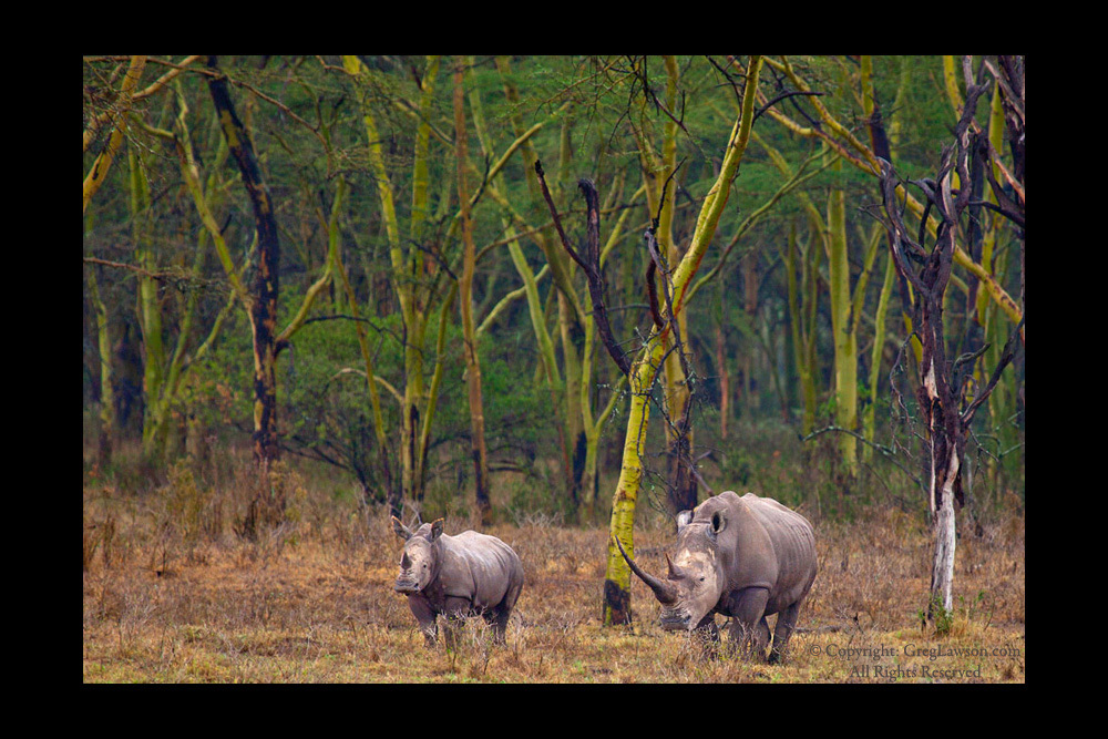 Rhino pair in East Africa - Wildlife photography at Greg Lawson Galleries Sedona