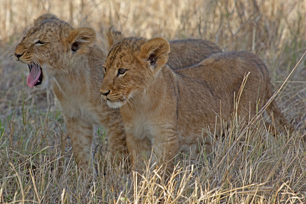 Kenya Kittens, lion cubs, Greg Lawson Galleries