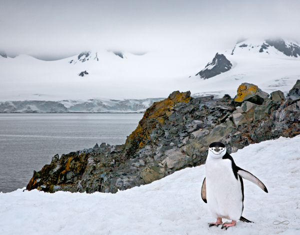 """Welcome To My Home"" -- A chin strapped penguin plays the role of a welcoming host when I rounded a corner and stumbled upon its Antarctic niche."