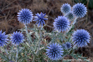 Wild blue globe thistles in the south of France