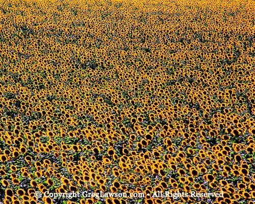 Sunflowers Greg Lawson Photography Art Gallery Sedona