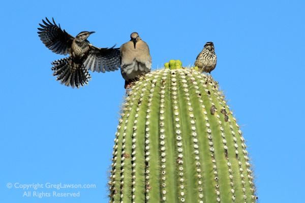 Greg-Lawson-Photography-Saguaro-Birds