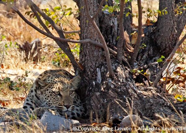 Crouching Leopard Copyright Greg Lawson