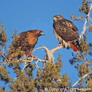 Pair of red tailed hawks, featured in the book: Sedona - The Nature of the Place and at the Greg Lawson photography art gallery in Sedona, Arizona, USA.