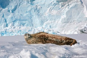 Weddell On Ice