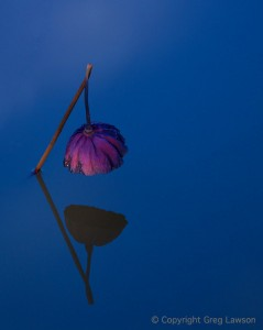 Weeping Lotus