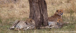 Cheetah's Interlude