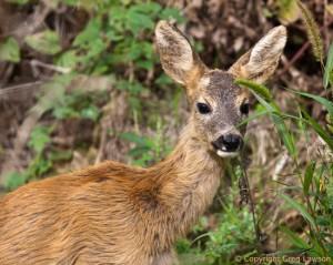 Hungarian Deer