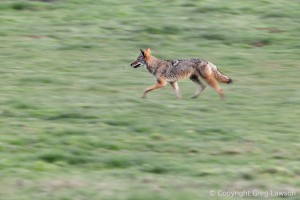 Coyote's Concentration