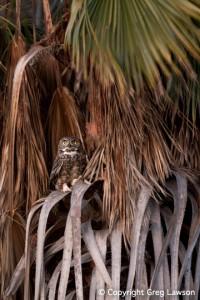 Owl at Petticoat Junction