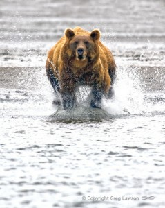 Grizzly Catch
