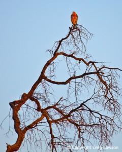 Fiery Hawk