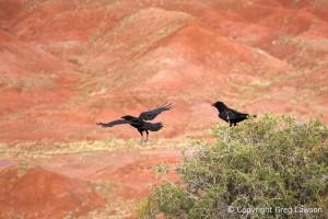 Raven Haven