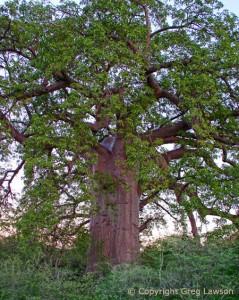 Red Bark Baobab