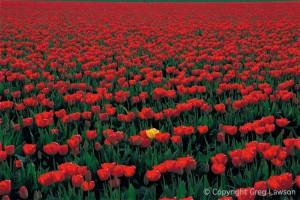 Unembarassed Tulip